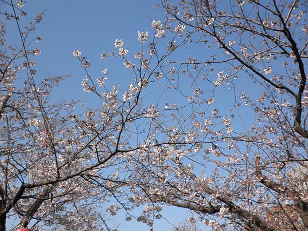 20120405若宮大路の桜②