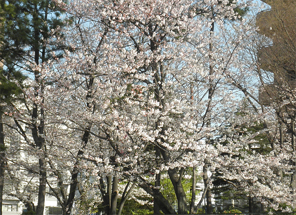 20120412桜