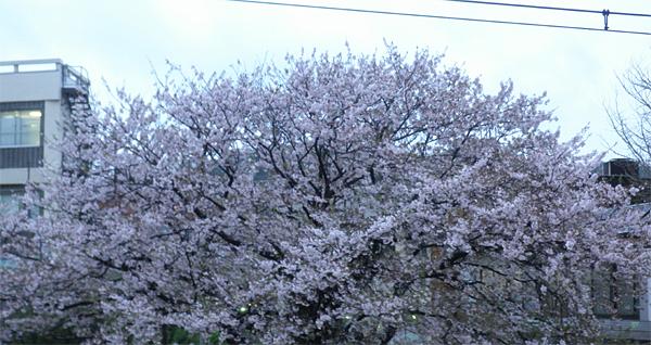 20120414桜