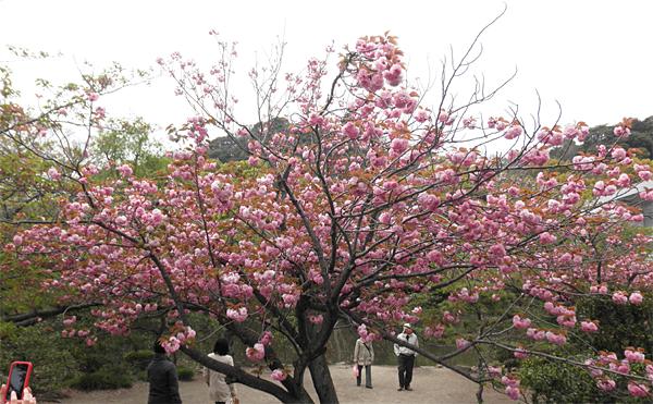 20120421八重桜