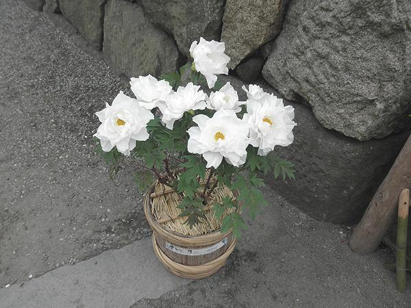 20120421ぼたん