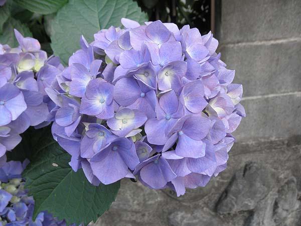 20120606近所の紫陽花