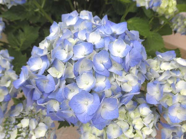 20120610鎌倉駅の紫陽花①