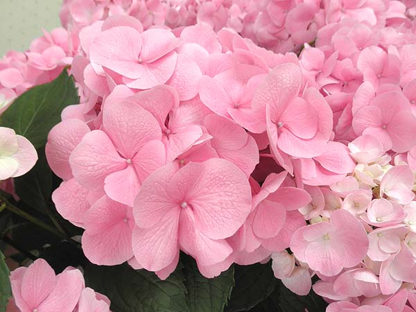 20120610鎌倉駅の紫陽花②