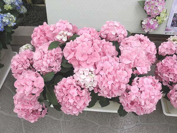 20120610鎌倉駅の紫陽花③