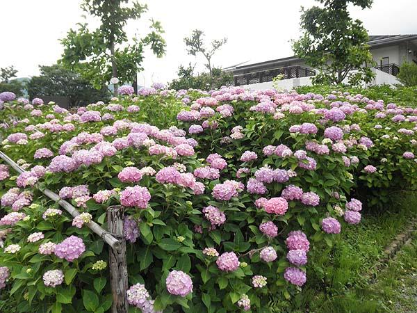 20120620紫陽花②