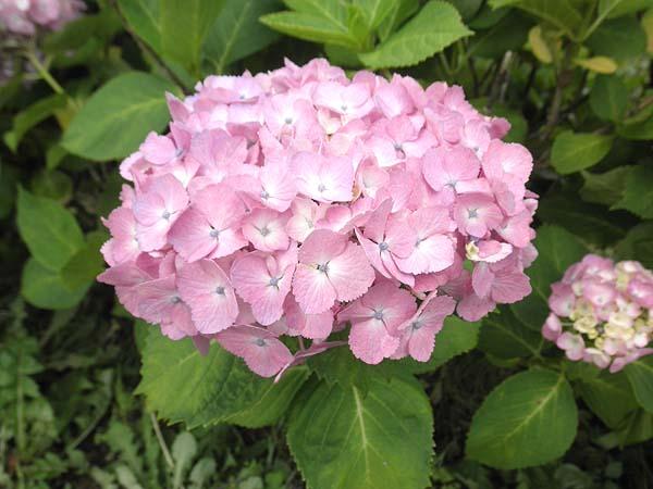 20120620紫陽花③