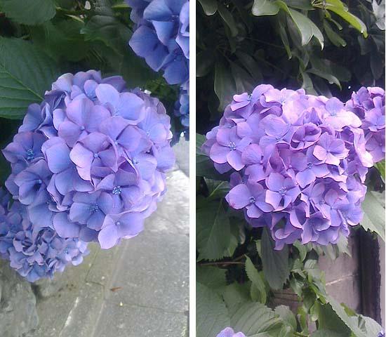 20120618紫陽花