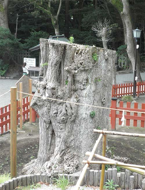 20120714大銀杏②