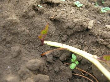 サツマイモの芽-3