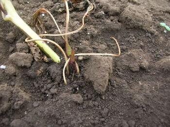 サツマイモの芽-4