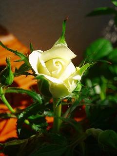 白いミニバラ