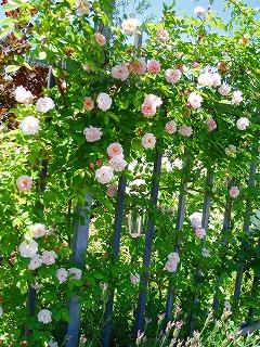 フェンスにバラをからませて