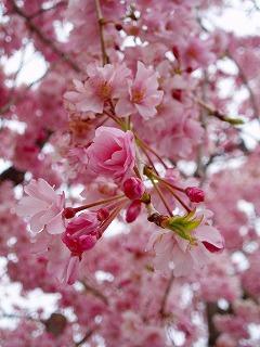 キレイなピンクです
