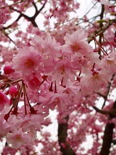 この桜が一番キレイかな?