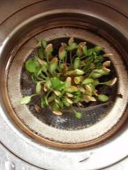 メロンの芽2