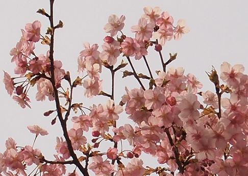 調布の河津桜1