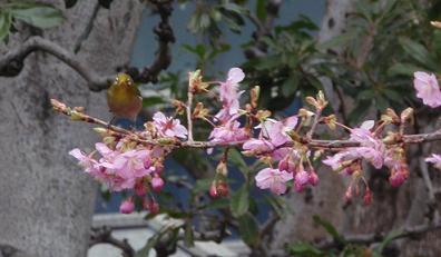 調布の河津桜3