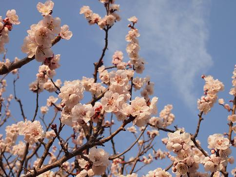 梅in植物園