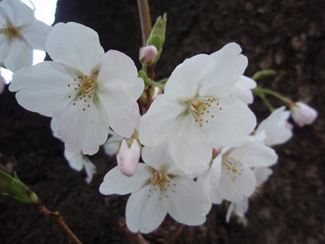 胴吹き桜2