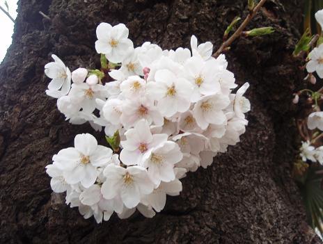 胴吹き桜1