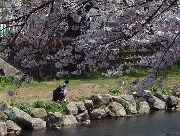 野川の桜4