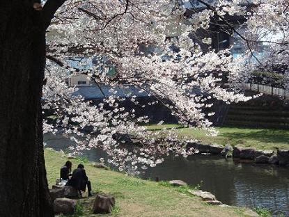 野川の桜2