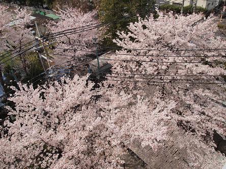 窓下の桜2