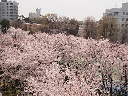窓下の桜1