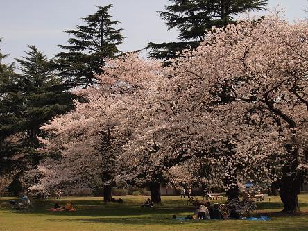 野川公園桜4