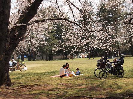 野川公園桜5