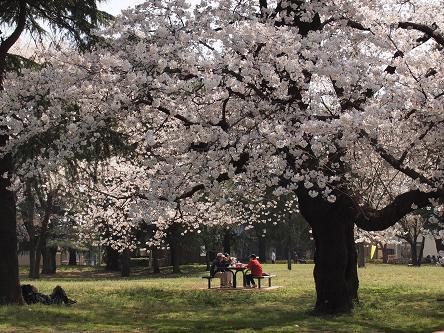 野川公園桜3