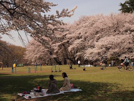 野川公園桜2