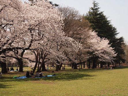 野川公園桜1