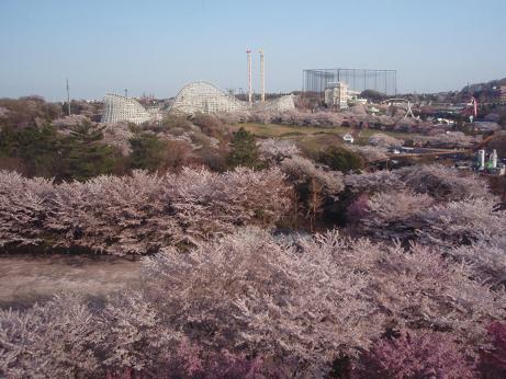 よみうりランドの桜3