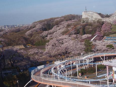よみうりランドの桜2