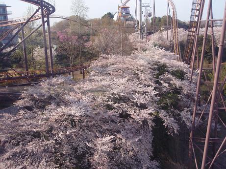 よみうりランドの桜1