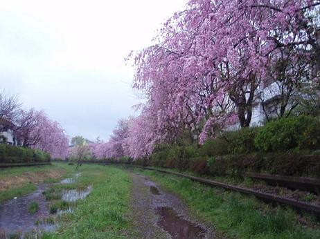 小金井シダレ桜2