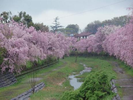 小金井シダレ桜1