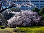 後楽園枝垂桜