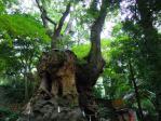 まさに神の木だ