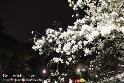 130325岩槻夜桜1