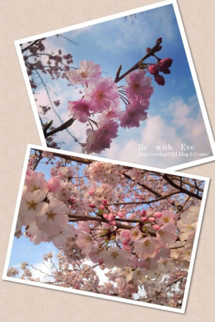 130325丸山桜