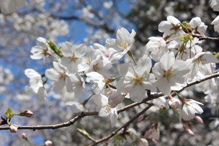 24_04_08_お花見4
