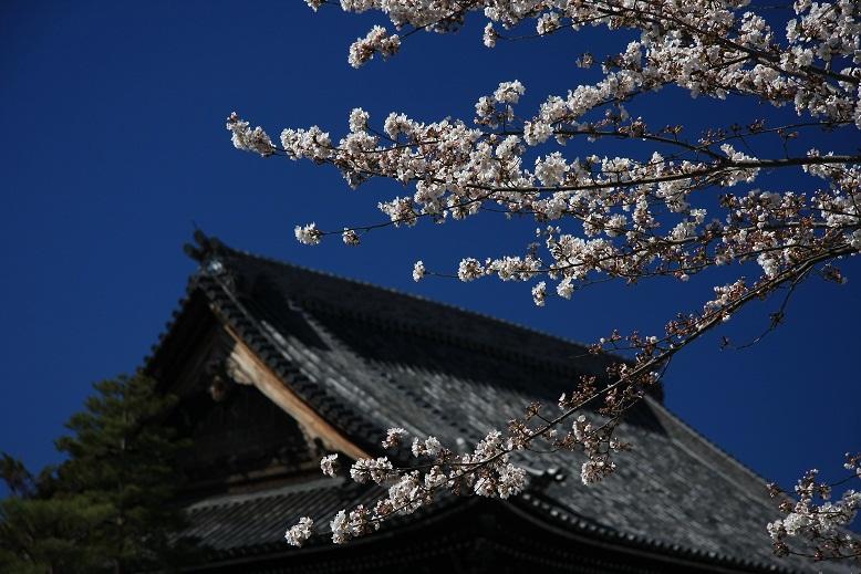 知恩院、桜、1
