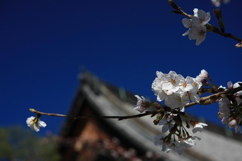 知恩院、桜、2