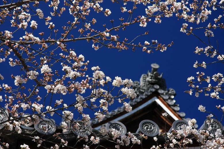 知恩院、桜、6