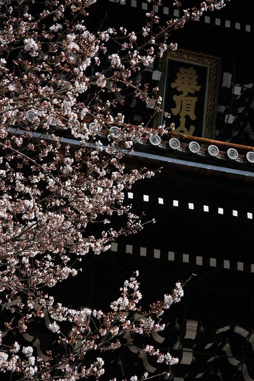知恩院、桜、7