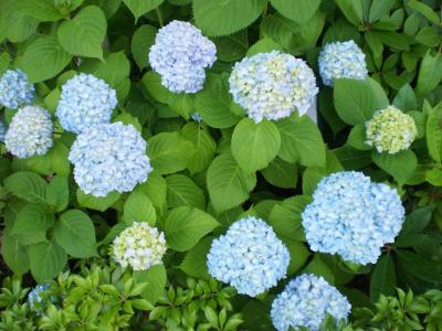 花々朝顔の