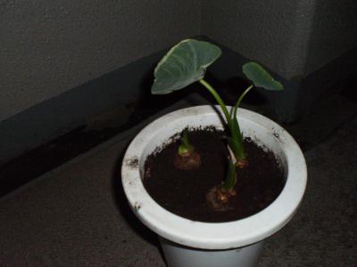 里芋の鉢2